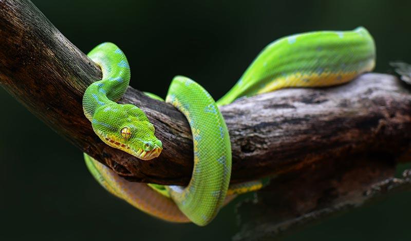 Ложь змея